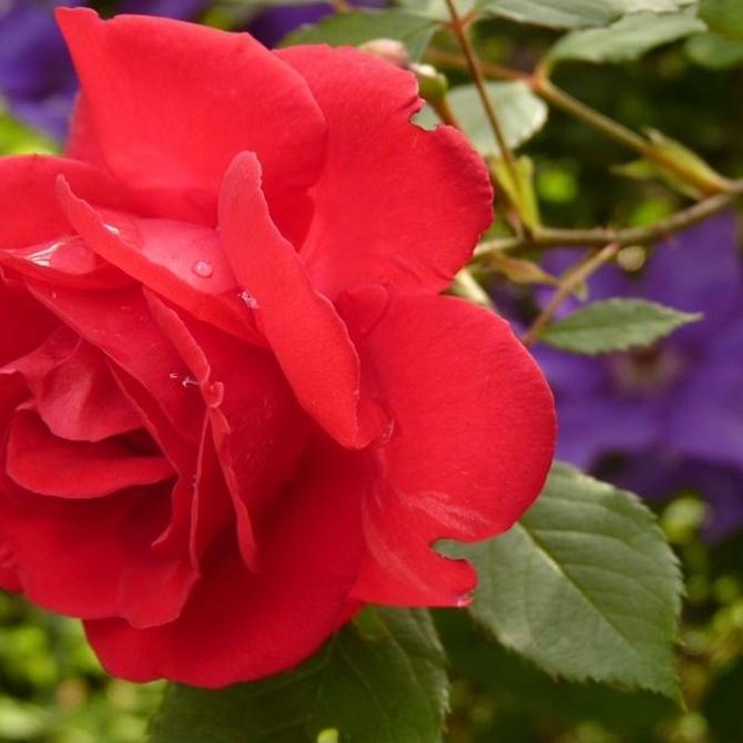 Claves para el cuidado de tus rosales
