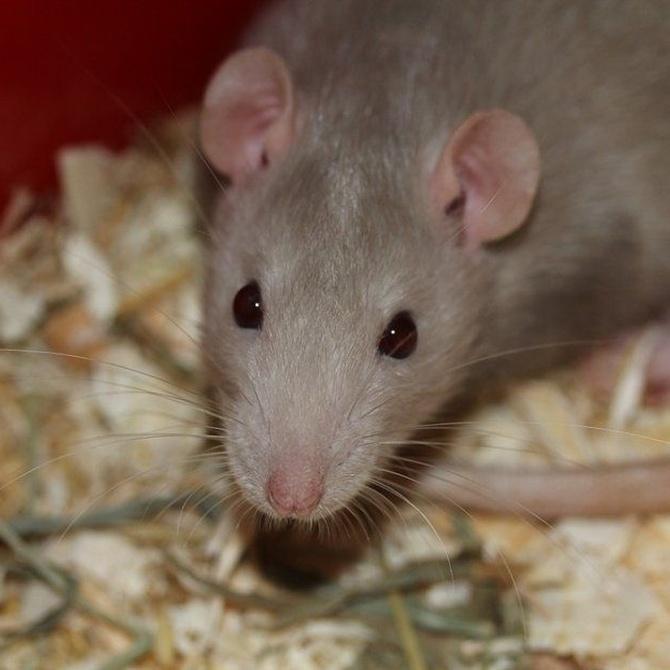 La estrecha relación entre ratas y cucarachas