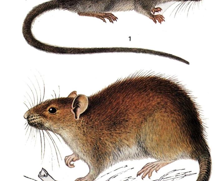 Eliminacion de ratas y ratones