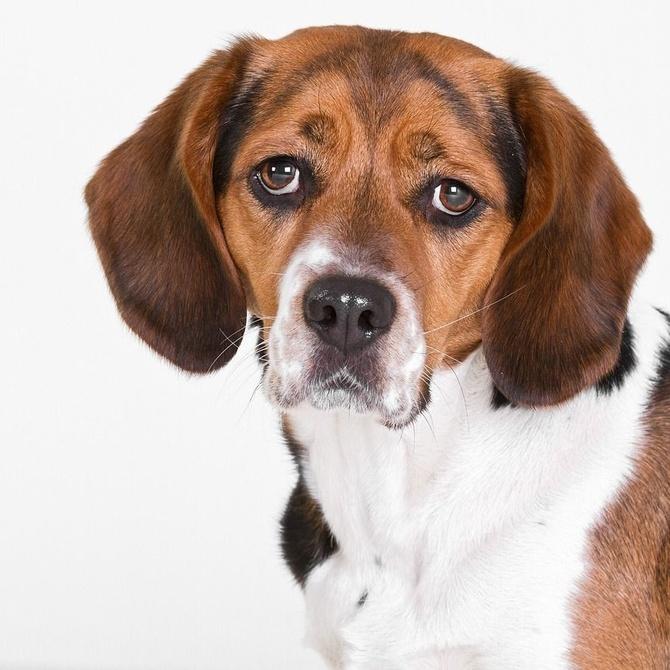 Por qué agita un perro mucho la cabeza