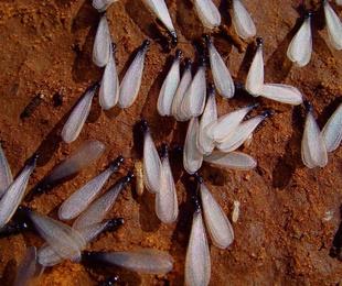 ¿#Termitas aladas o hormigas voladoras?