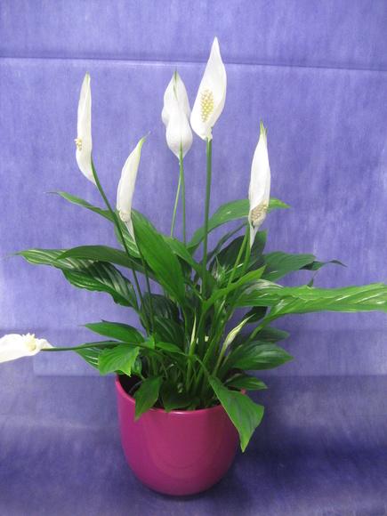 Spatifilium: Nuestras flores de Bouquet Flores y Plantas