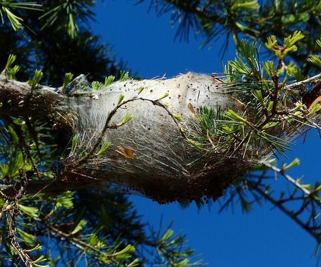¿Cómo detectar una plaga de procesionarias del pino?