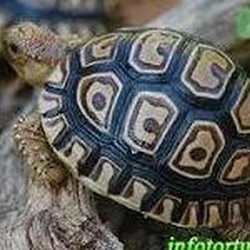 Tortuga Pardalis Leopardo o Stigmochelys pardalis: Catálogo de Reptil Parc