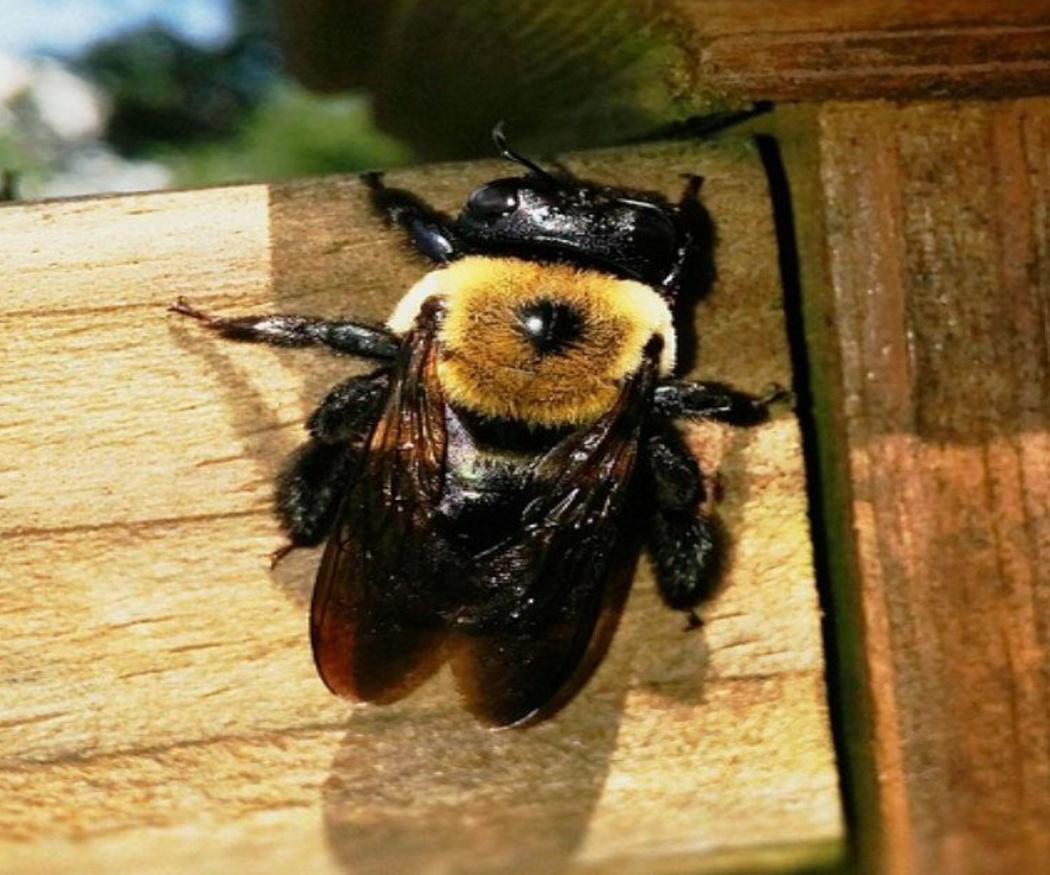 Los insectos devoradores de madera más comunes