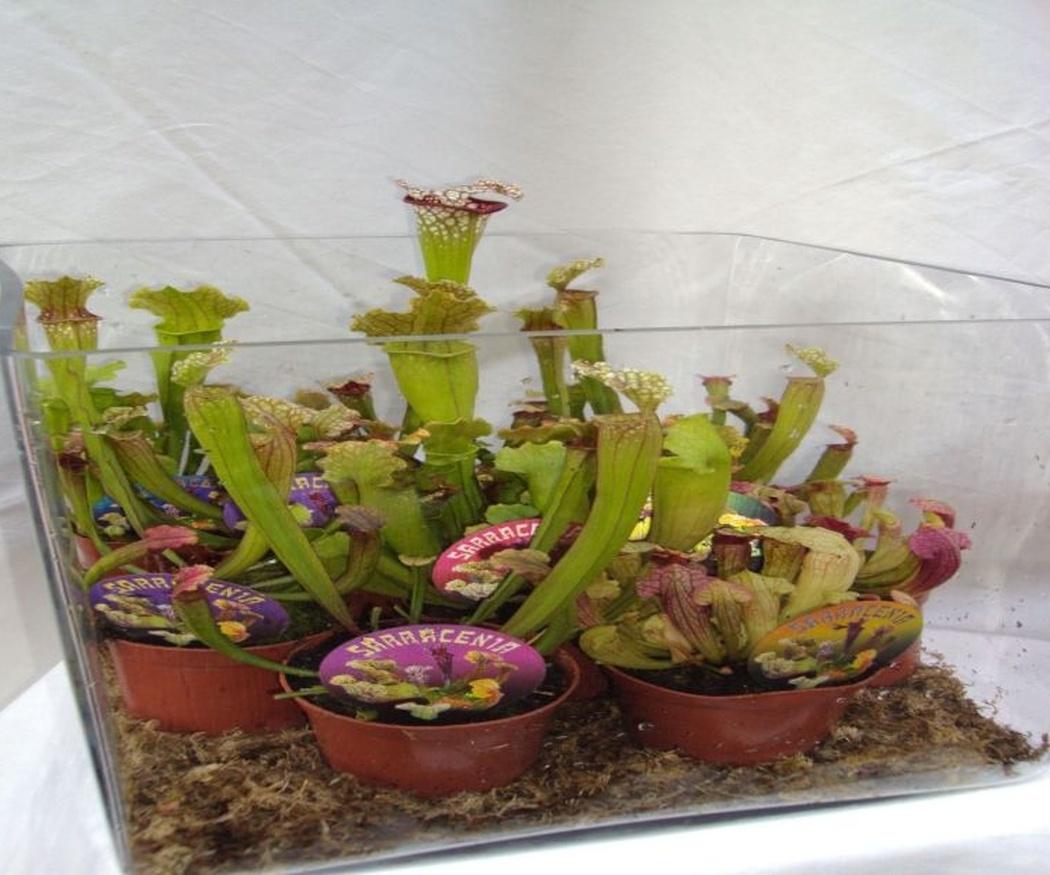 Las curiosas plantas insectívoras