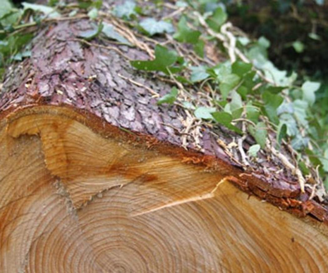 La tala de un árbol