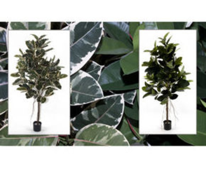 Árbol Ficus 1,80m