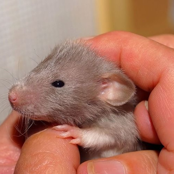 ¿Por qué tenemos tanto miedo a las ratas?