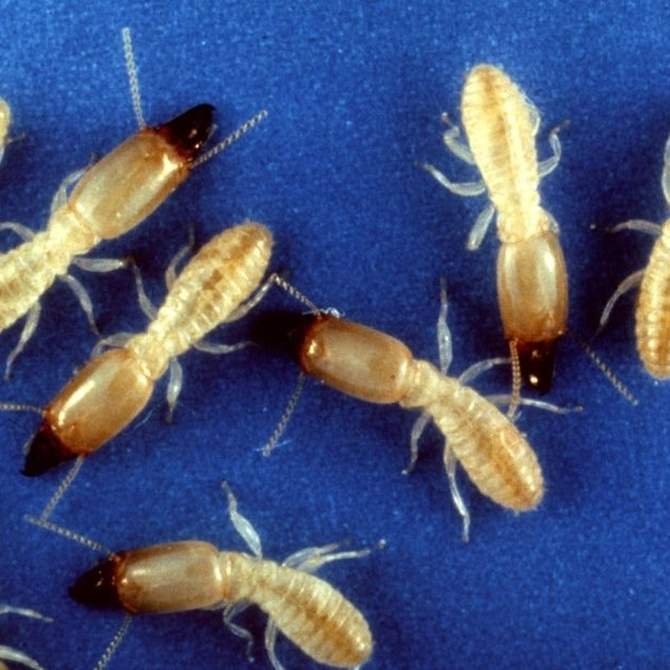Prevenir una plaga de termitas