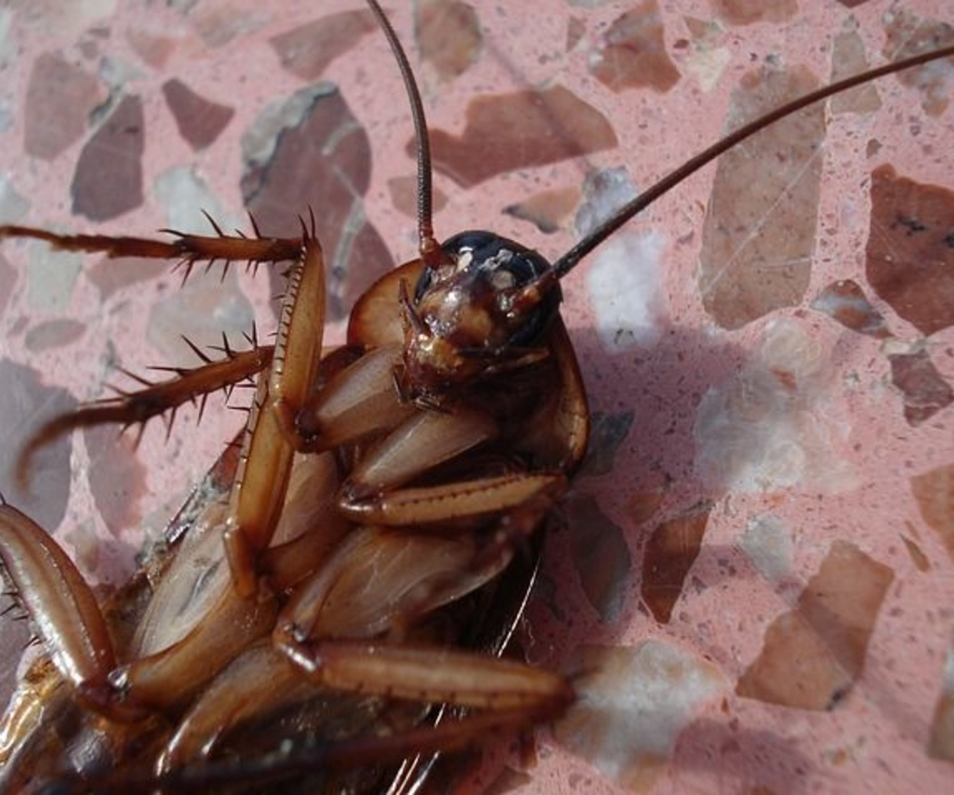 Cucarachas: cómo eliminarlas
