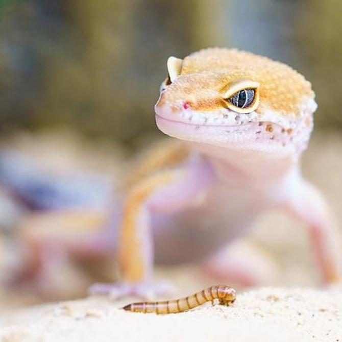Geckos domésticos: cuidados y características