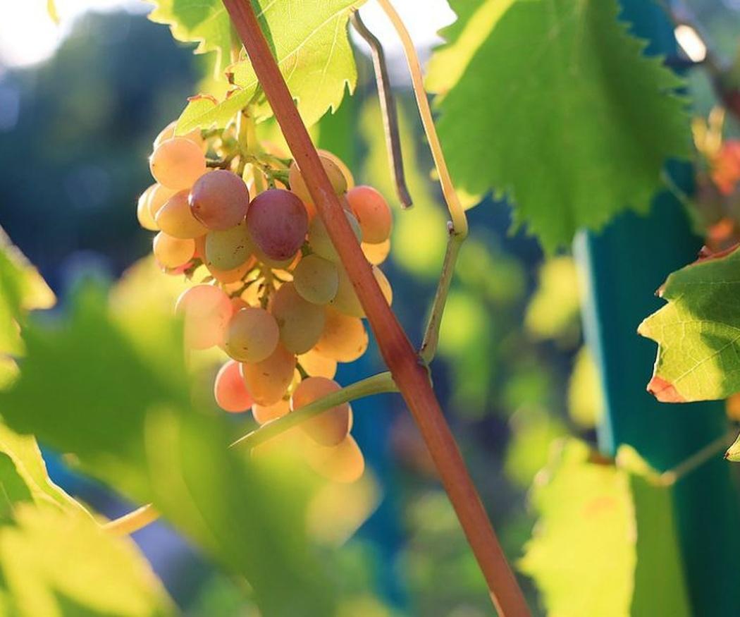 Lo que debes saber de la uva malvasía