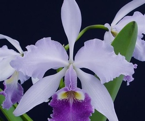 """Psiquis"" - Orquídea amazónica"