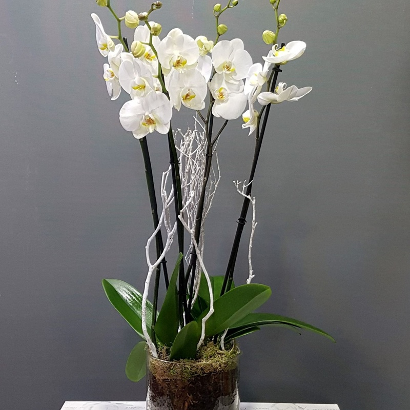 Orquídea Everest