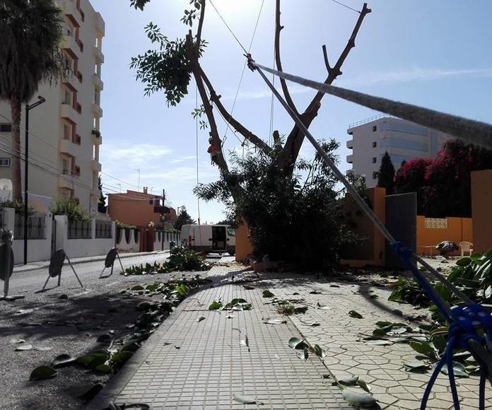 último trabajo de tala de árbol en Ibiza