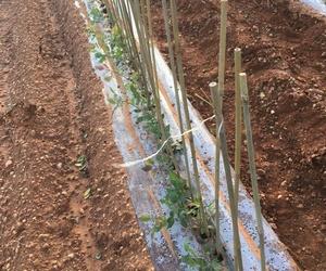Garra de espárragos verde, garra de espárrago blanco,en Pinarejo, Segovia.