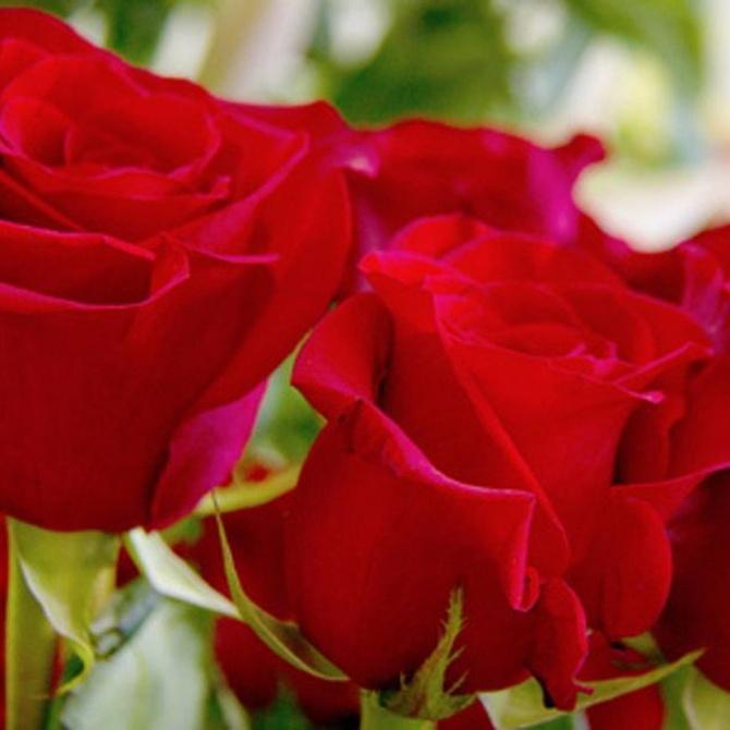 Las rosas como la reina de las flores