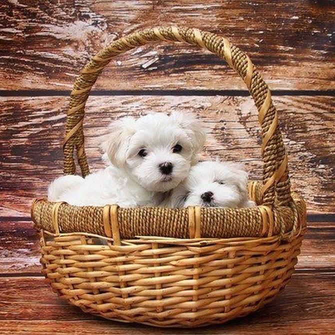 ¿Conoces las razas de perros toy?