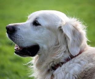 Cuidar el pelo blanco de tu mascota