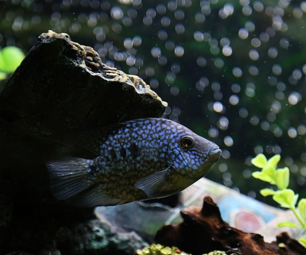Los mejores peces tropicales para tu acuario (I)