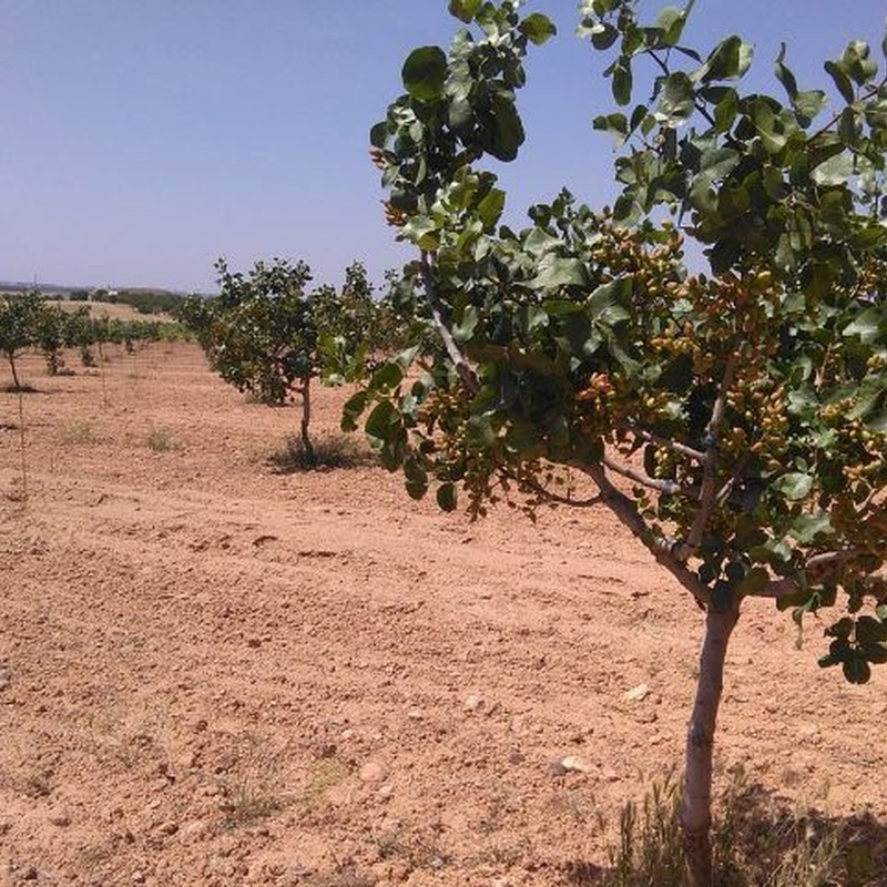 Venta de finca de pistachos: Inmuebles Urbanos de ANTONIO ARAGONÉS DÍAZ PAVÓN