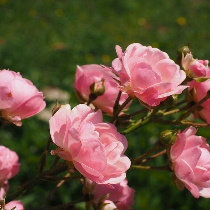 Consejos para cuidar un rosal