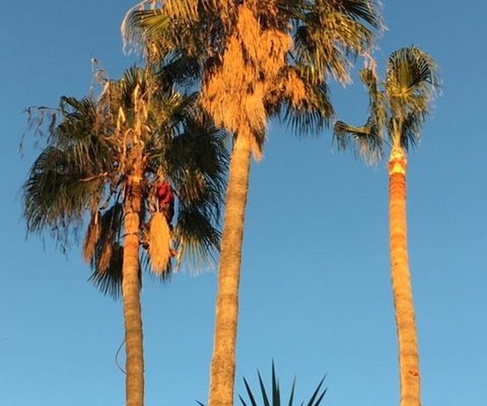 Poda y tala de árboles, palmeras y setos: Servicios de Jardiart