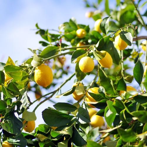 Productores de limones Murcia