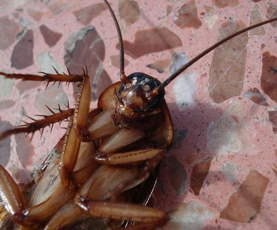 Los riesgos para la salud de la presencia de cucarachas