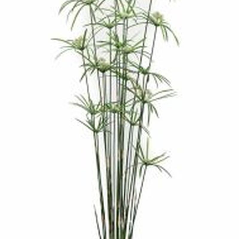 Planta Cyperus: ¿Qué hacemos? de Ches Pa, S.L.