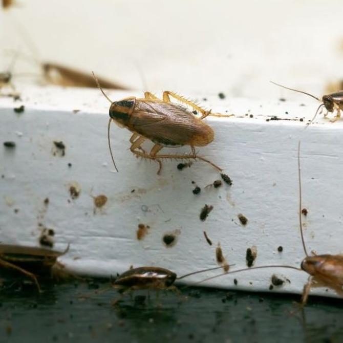 La reproducción de las cucarachas