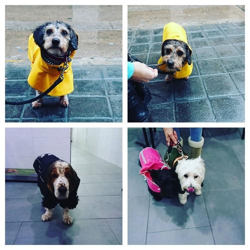 La lluvia no es un impedimento para ellos!! Lola, Logan, Luna y Flor nos visitan con chubasquero. @ LLIRIA, Spain