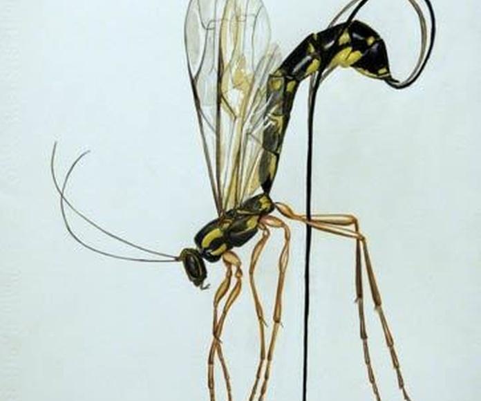 Mosquito. Alberto García. Acuarela y lápiz de color.