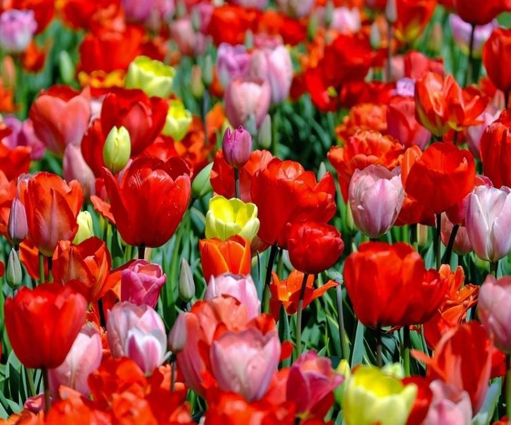 Trucos para el cuidado de los tulipanes