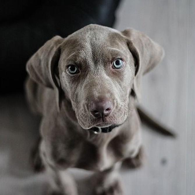 Las emergencias más usuales para llevar tu perro al veterinario (I)