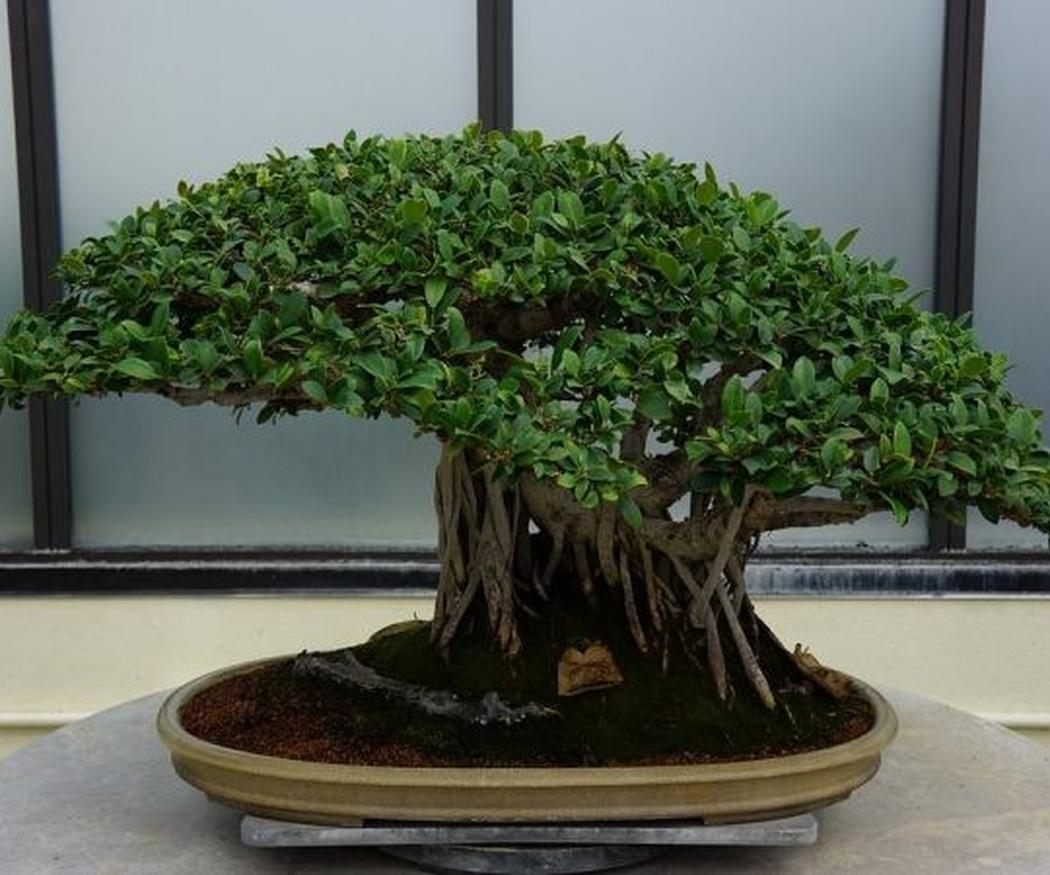 Las macetas de bonsái