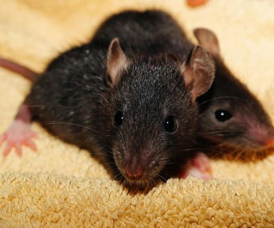 ¿Qué ocurre con las plagas de cucarachas y roedores en invierno?