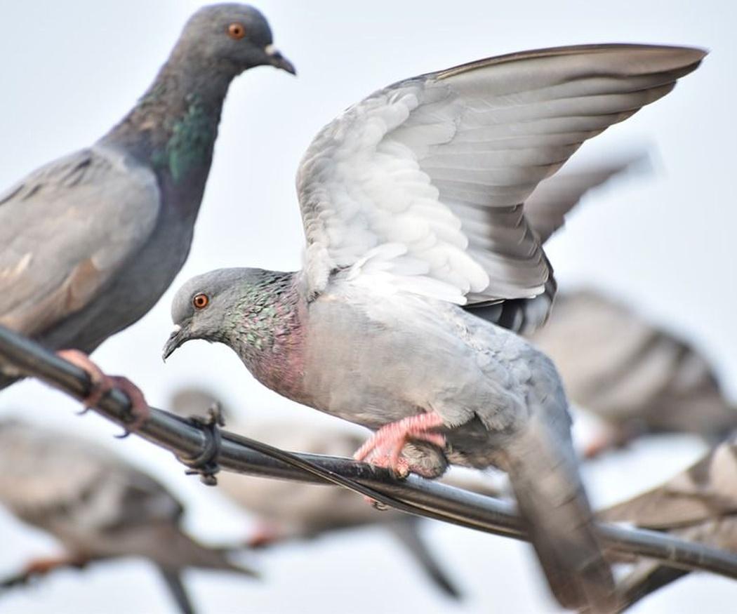 El problema de las plagas de aves urbanas