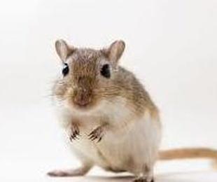por la compra de jaula , regalo de jerbo , hamster ruso o comun