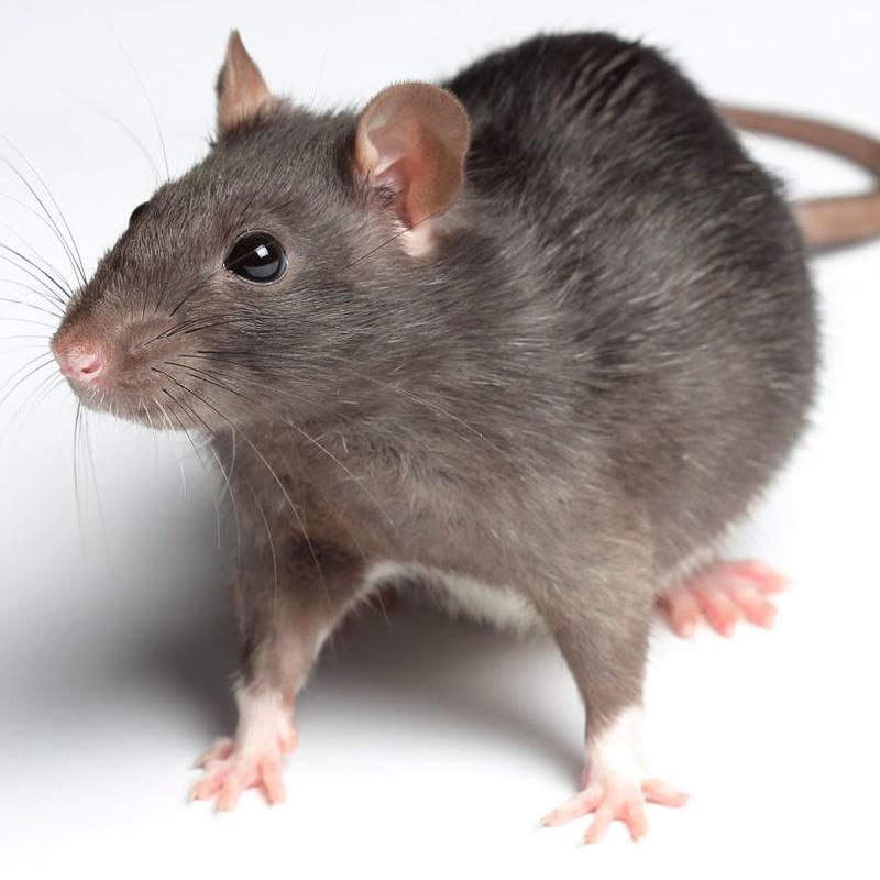 Control de plagas de ratas en barcelona