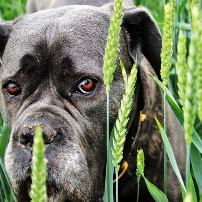 Requisitos para obtener la licencia de animales peligrosos