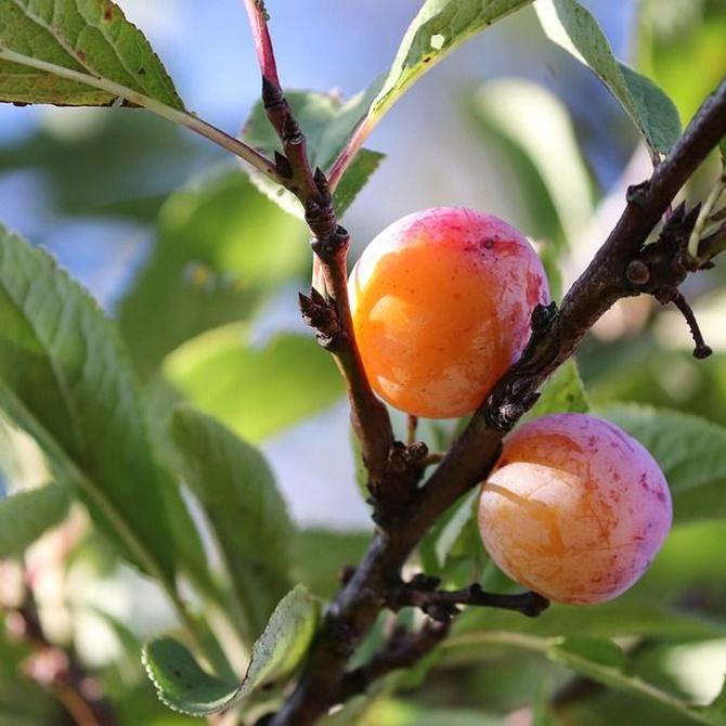 Los árboles frutales y sus diferentes épocas de poda