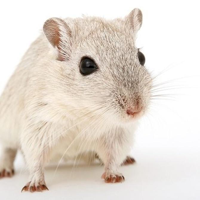 ¿Por dónde entrar los roedores a casa?
