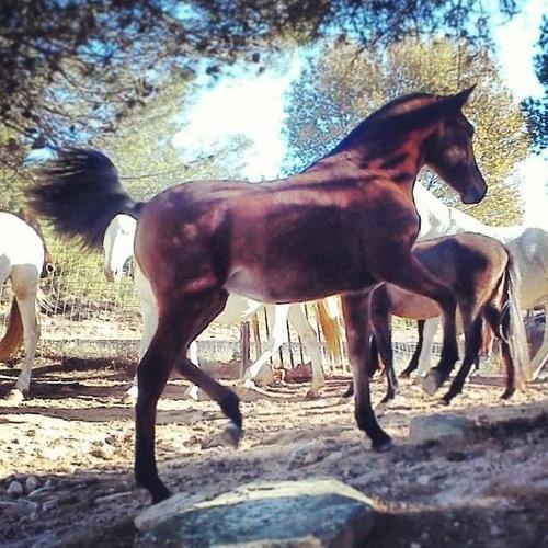 Cría de caballos PRE