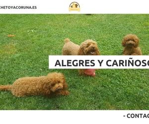 Caniche Toy en A Coruña