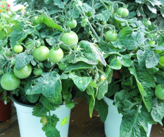 Plantas de huerta: NUESTROS PRODUCTOS de Mofusa