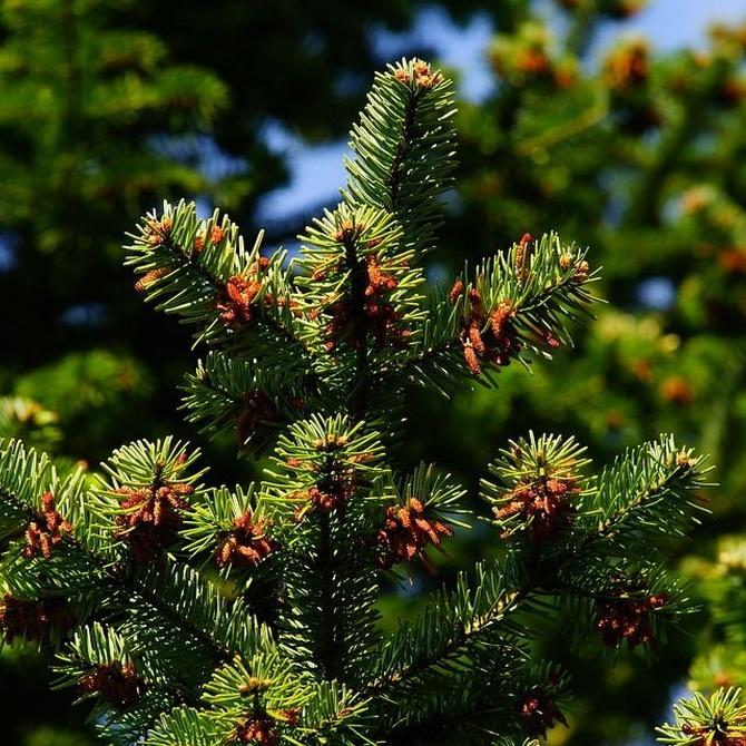 El tomicus, el gran peligro de los pinos