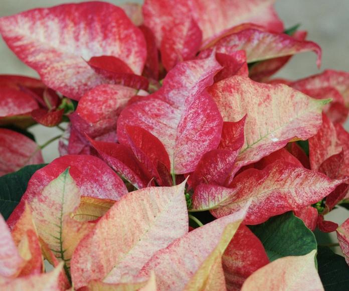Poinsettia bicolor