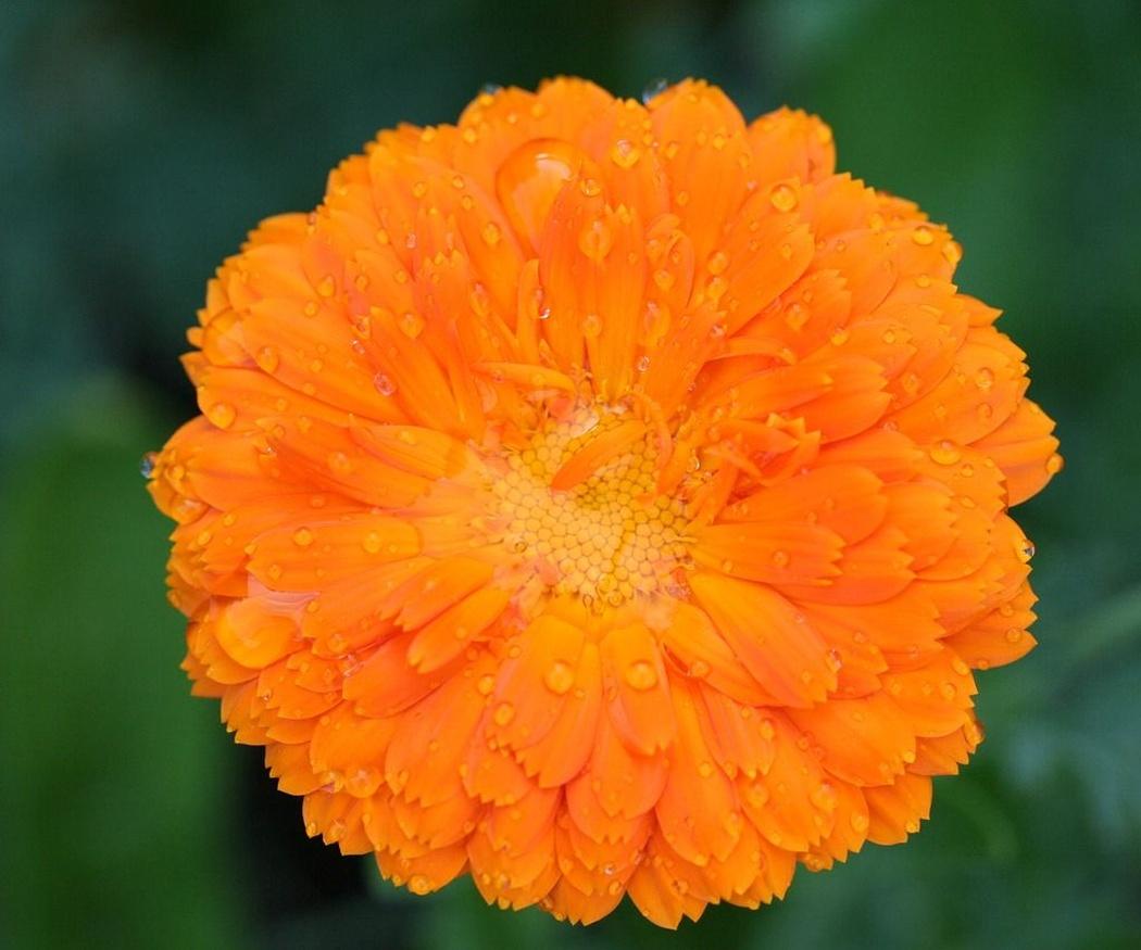 ¿Cuáles son las plantas más usadas en homeopatía?